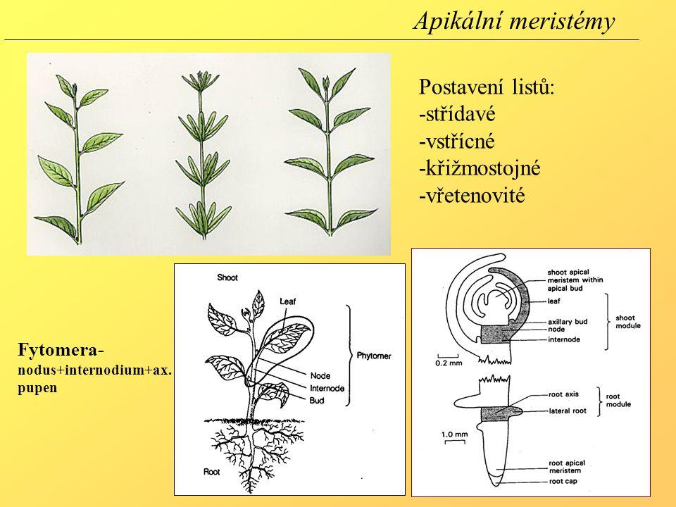 Apikální meristémy Postavení listů: -střídavé -vstřícné -křižmostojné -vřetenovité Fytomera- nodus+internodium+ax. pupen
