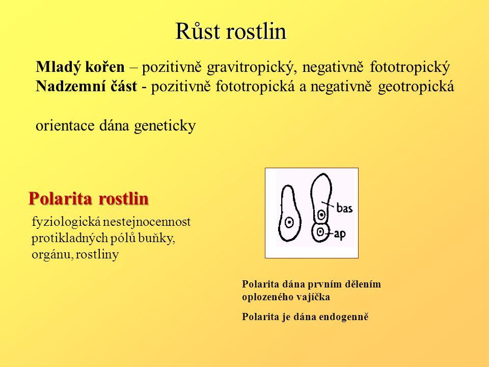 Polarita dána prvním dělením oplozeného vajíčka Polarita je dána endogenně Mladý kořen – pozitivně gravitropický, negativně fototropický Nadzemní část