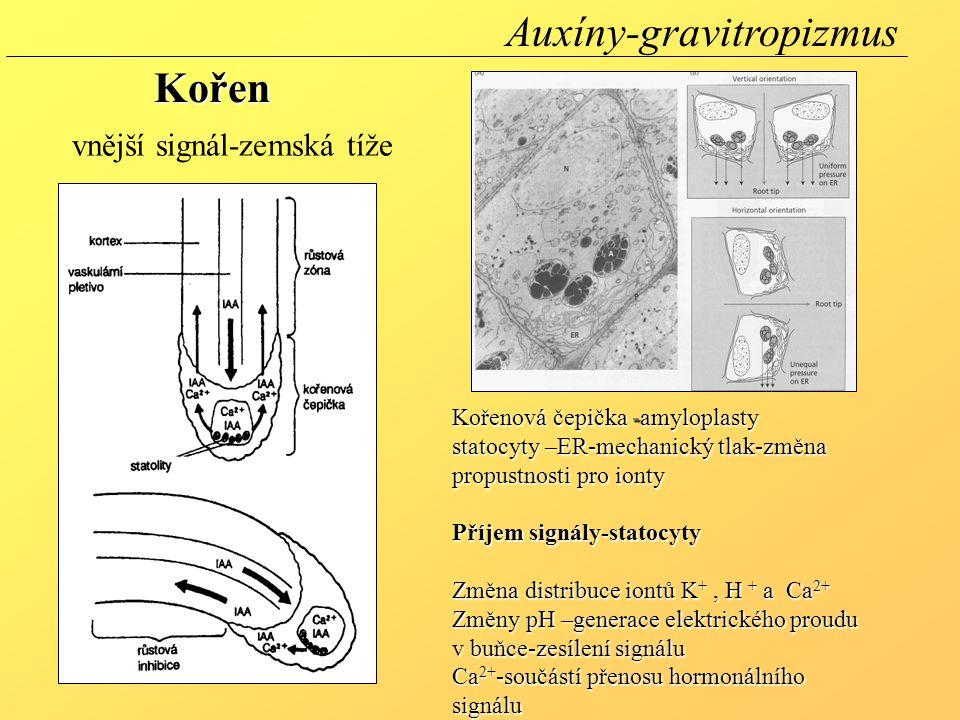 Kořenová čepička -amyloplasty statocyty –ER-mechanický tlak-změna propustnosti pro ionty Příjem signály-statocyty Změna distribuce iontů K +, H + a Ca