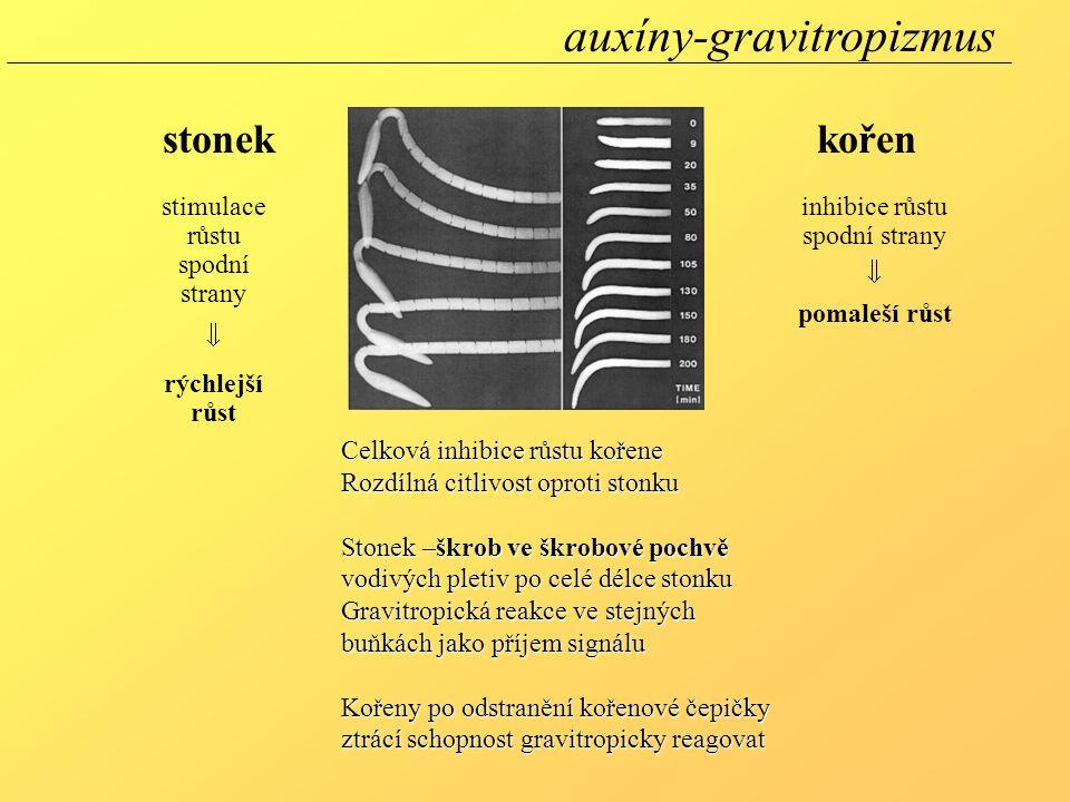 Celková inhibice růstu kořene Rozdílná citlivost oproti stonku Stonek –škrob ve škrobové pochvě vodivých pletiv po celé délce stonku Gravitropická rea