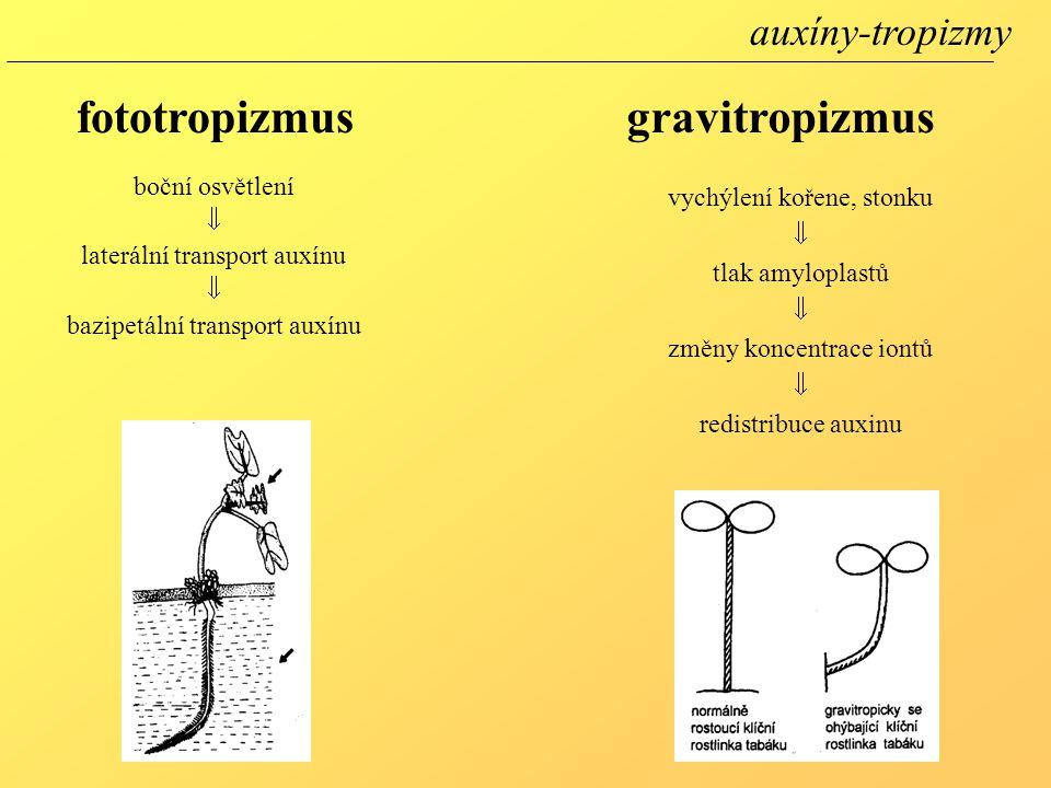 fototropizmusgravitropizmus boční osvětlení  laterální transport auxínu  bazipetální transport auxínu vychýlení kořene, stonku  tlak amyloplastů 