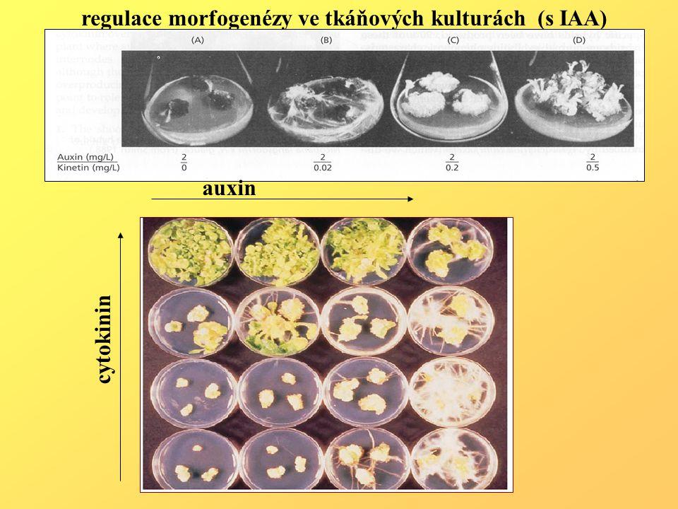 regulace morfogenézy ve tkáňových kulturách (s IAA) auxin cytokinin