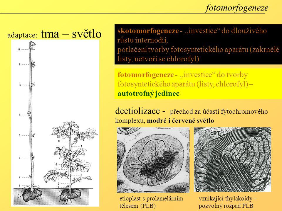 """adaptace: tma – světlo skotomorfogeneze -,,investice"""" do dlouživého růstu internodií, potlačení tvorby fotosyntetického aparátu (zakrnělé listy, netvo"""