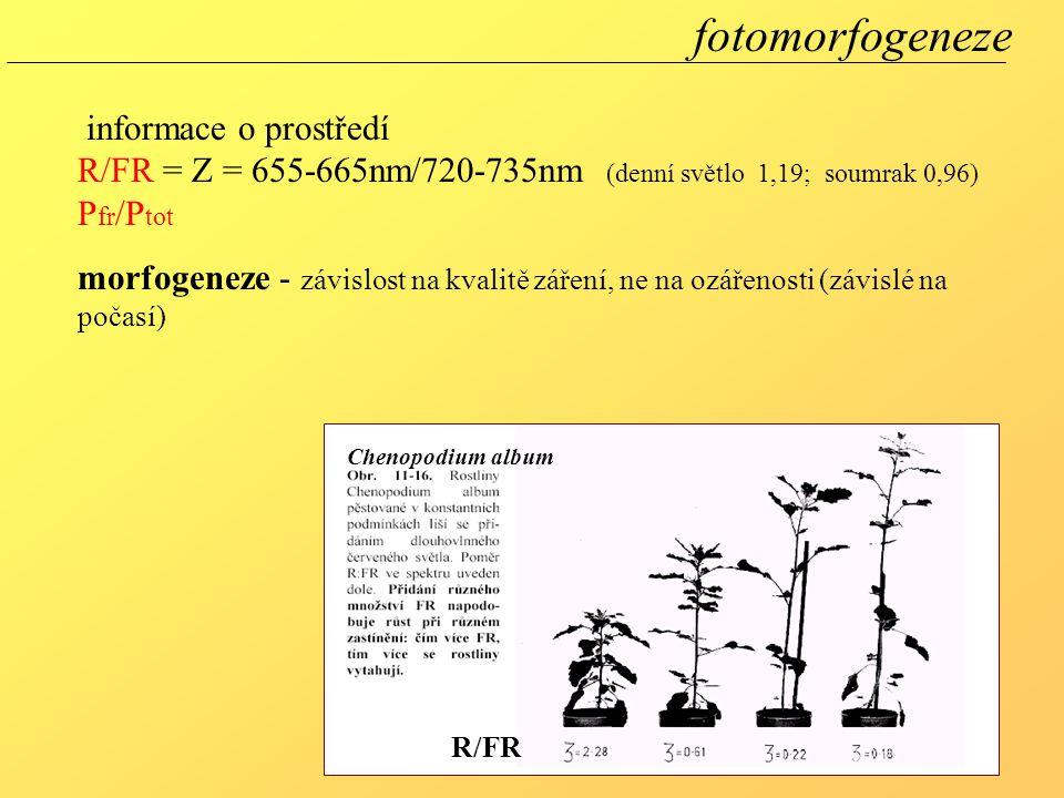 Chenopodium album R/FR fotomorfogeneze informace o prostředí R/FR = Z = 655-665nm/720-735nm (denní světlo 1,19; soumrak 0,96) P fr /P tot morfogeneze