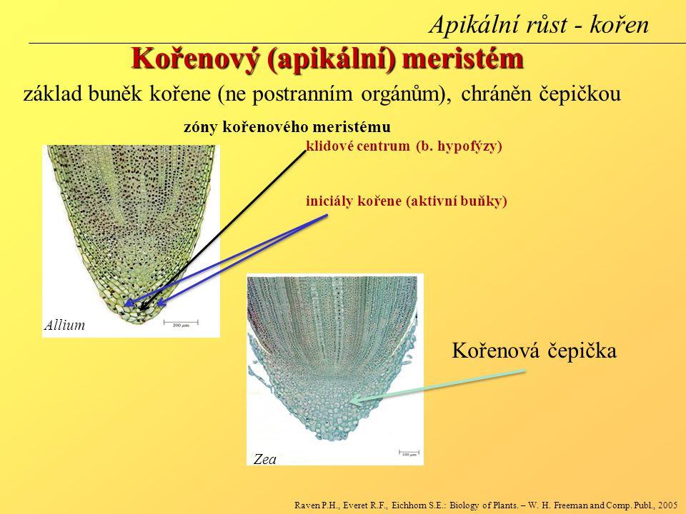 Allium Zea zóny kořenového meristému klidové centrum (b. hypofýzy) iniciály kořene (aktivní buňky) Kořenový (apikální) meristém Raven P.H., Everet R.F