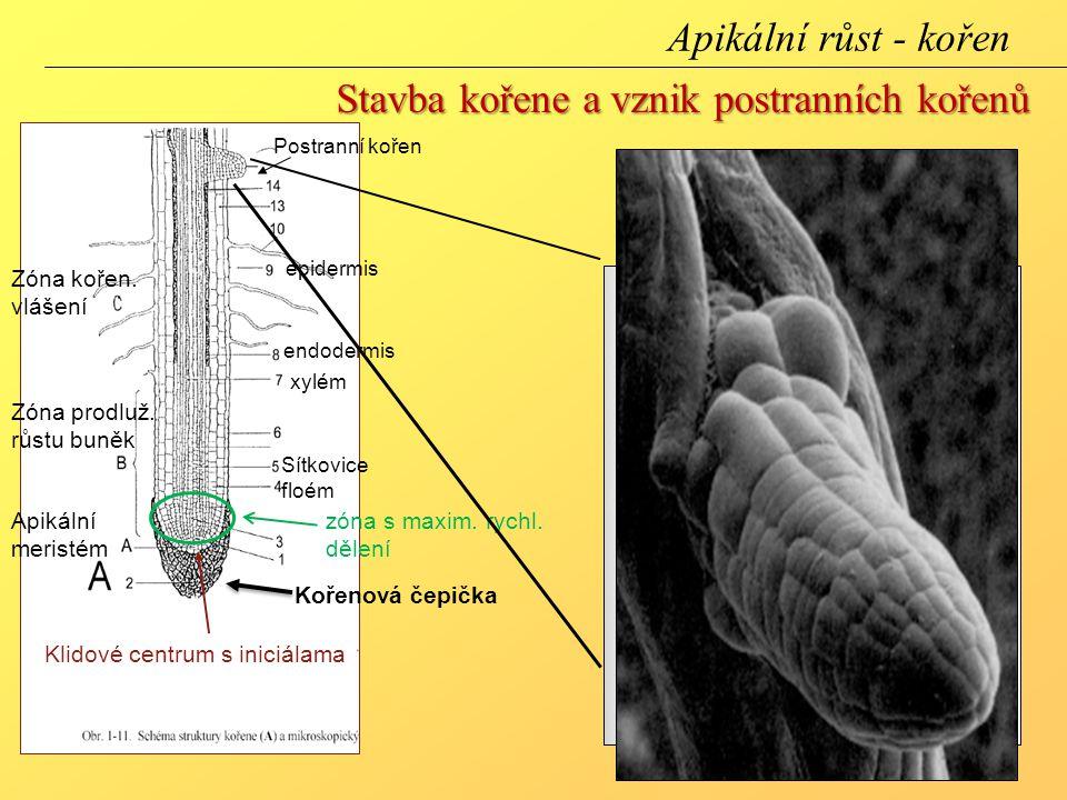 Apikální meristém zóna s maxim. rychl. dělení Zóna prodluž. růstu buněk Zóna kořen. vlášení Klidové centrum s iniciálama Kořenová čepička Postranní ko