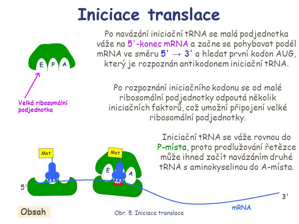 E P A E P A Met AUG Po navázání iniciační tRNA se malá podjednotka váže na 5'-konec mRNA a začne se pohybovat podél mRNA ve směru 5' → 3' a hledat prv