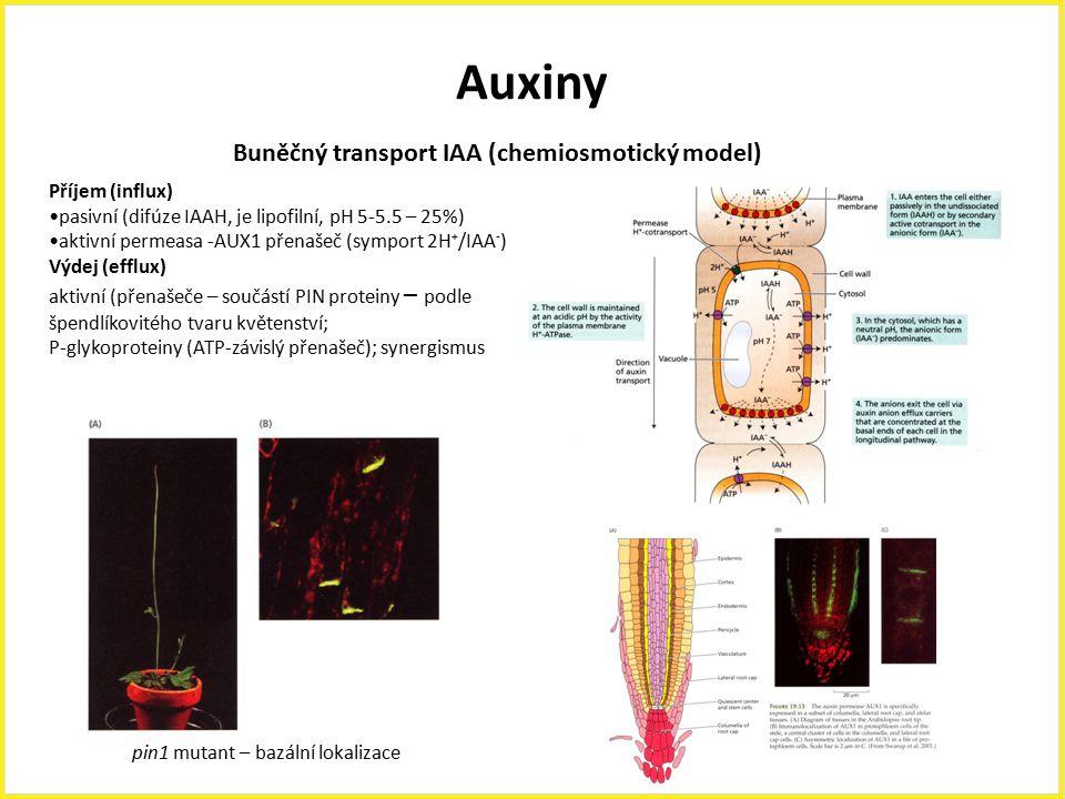 Auxiny Příjem (influx) pasivní (difúze IAAH, je lipofilní, pH 5-5.5 – 25%) aktivní permeasa -AUX1 přenašeč (symport 2H + /IAA - ) Výdej (efflux) aktiv