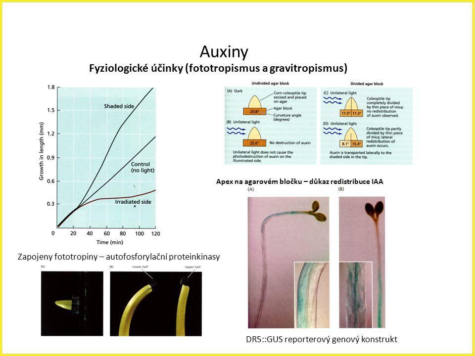 Auxiny Fyziologické účinky (fototropismus a gravitropismus) Apex na agarovém bločku – důkaz redistribuce IAA Zapojeny fototropiny – autofosforylační p