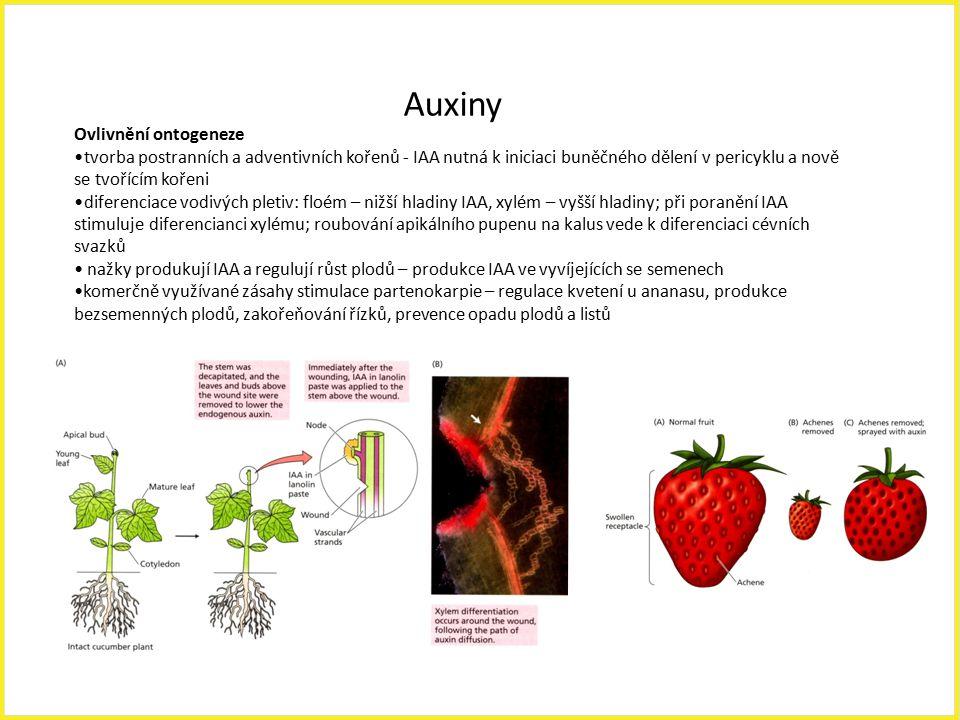 Auxiny Ovlivnění ontogeneze tvorba postranních a adventivních kořenů - IAA nutná k iniciaci buněčného dělení v pericyklu a nově se tvořícím kořeni dif
