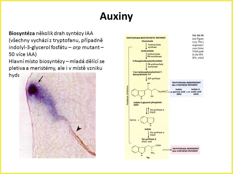 Auxiny Biosyntéza několik drah syntézy IAA (všechny vychází z tryptofanu, případně indolyl-3-glycerol fosfátu – orp mutant – 50 více IAA) Hlavní místo