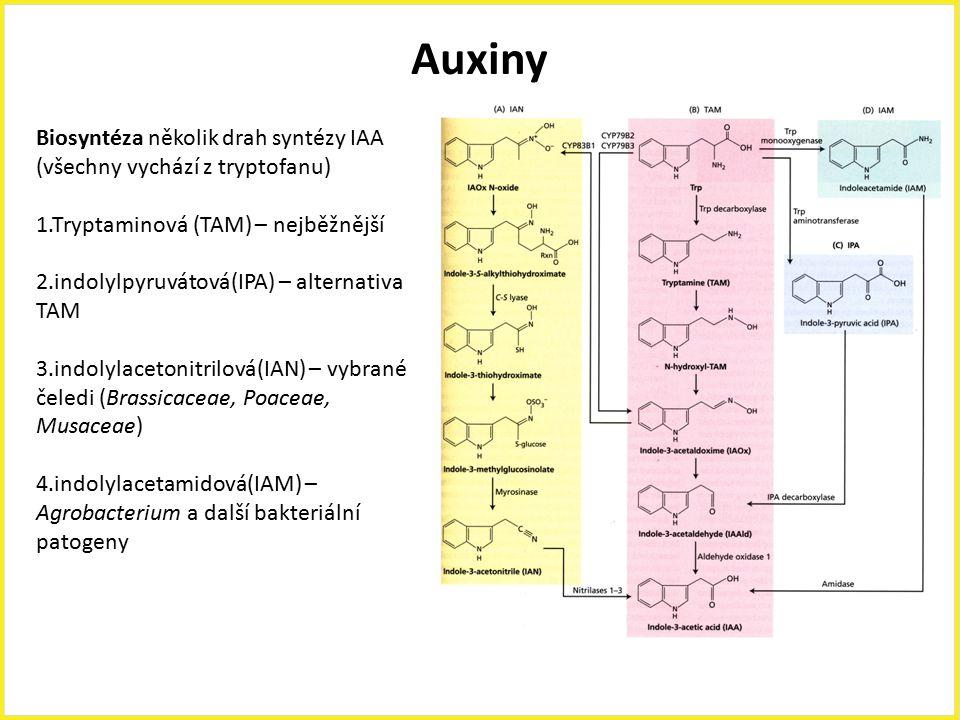 Auxiny Biosyntéza několik drah syntézy IAA (všechny vychází z tryptofanu) 1.Tryptaminová (TAM) – nejběžnější 2.indolylpyruvátová(IPA) – alternativa TA