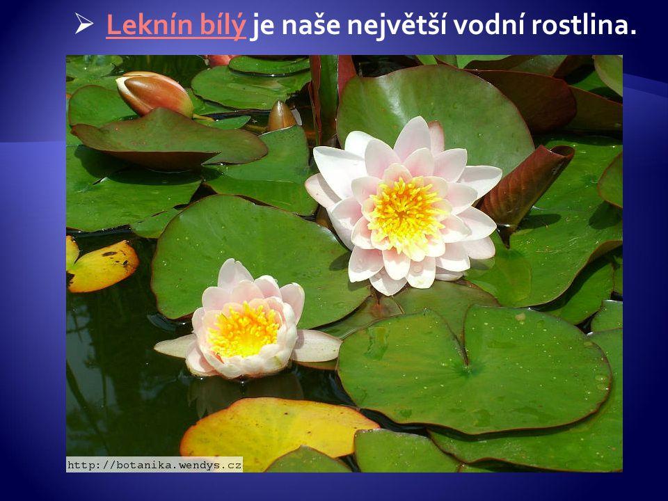  Leknín bílý je naše největší vodní rostlina. Leknín bílý