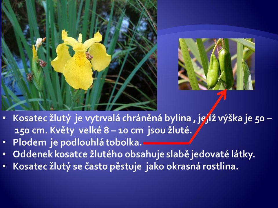 Kosatec žlutý je vytrvalá chráněná bylina, jejíž výška je 50 – 150 cm. Květy velké 8 – 10 cm jsou žluté. Plodem je podlouhlá tobolka. Oddenek kosatce
