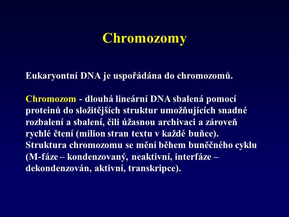 Eukaryontní DNA je uspořádána do chromozomů. Chromozom - dlouhá lineární DNA sbalená pomocí proteinů do složitějších struktur umožňujících snadné rozb