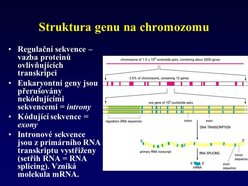 Struktura genu na chromozomu Regulační sekvence – vazba proteinů ovlivňujících transkripci Eukaryontní geny jsou přerušovány nekódujícími sekvencemi =
