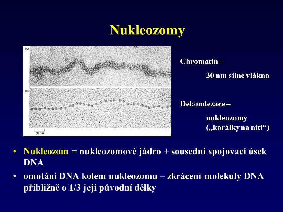 Nukleozomy Nukleozom = nukleozomové jádro + sousední spojovací úsek DNA omotání DNA kolem nukleozomu – zkrácení molekuly DNA přibližně o 1/3 její půvo
