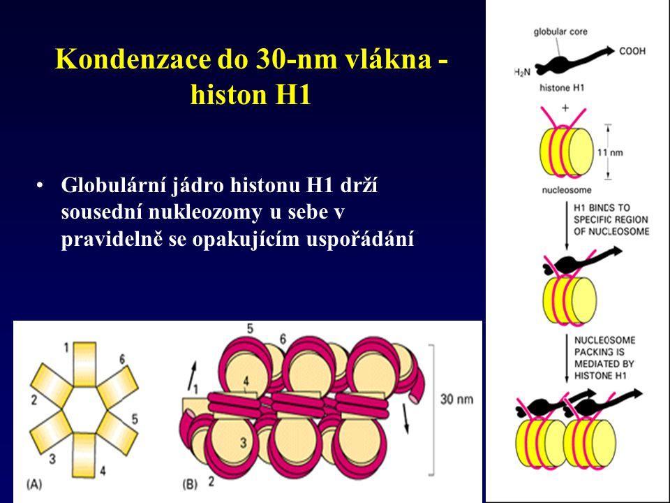 Kondenzace do 30-nm vlákna - histon H1 Globulární jádro histonu H1 drží sousední nukleozomy u sebe v pravidelně se opakujícím uspořádání