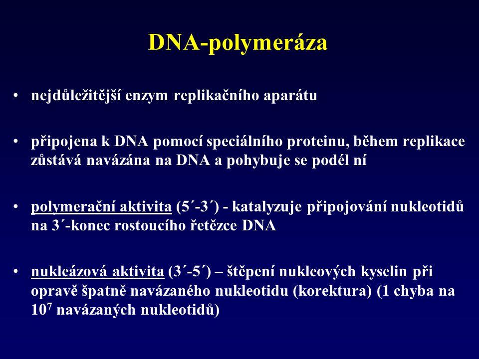 DNA-polymeráza nejdůležitější enzym replikačního aparátu připojena k DNA pomocí speciálního proteinu, během replikace zůstává navázána na DNA a pohybu