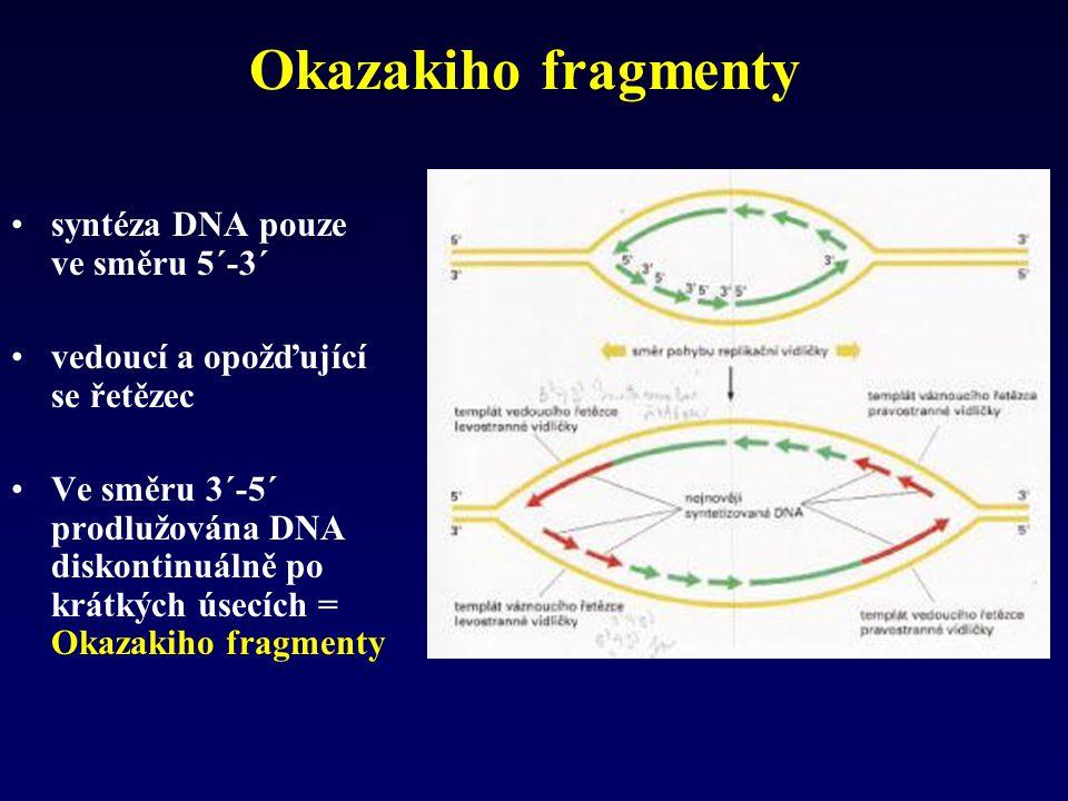 Okazakiho fragmenty syntéza DNA pouze ve směru 5´-3´ vedoucí a opožďující se řetězec Ve směru 3´-5´ prodlužována DNA diskontinuálně po krátkých úsecíc