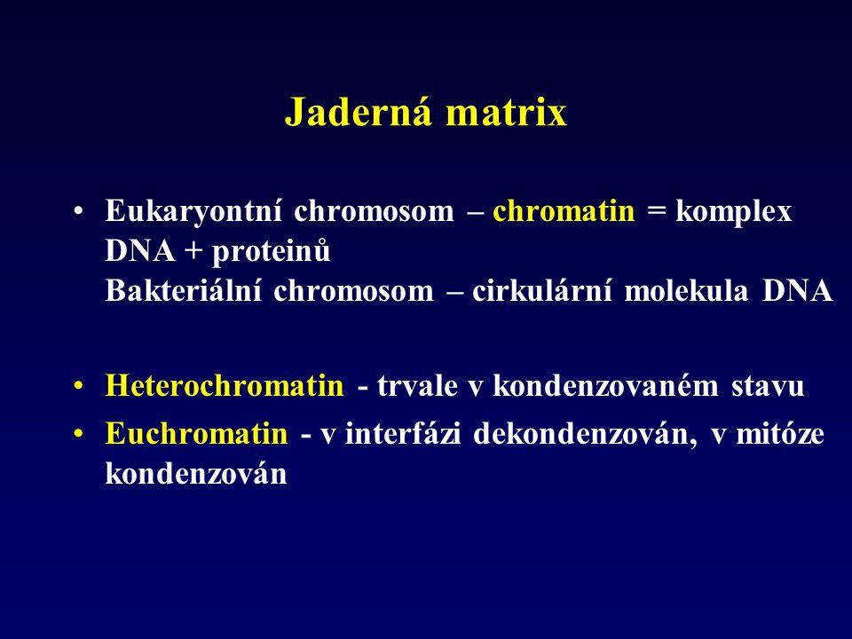 Jaderná matrix Eukaryontní chromosom – chromatin = komplex DNA + proteinů Bakteriální chromosom – cirkulární molekula DNA Heterochromatin - trvale v k