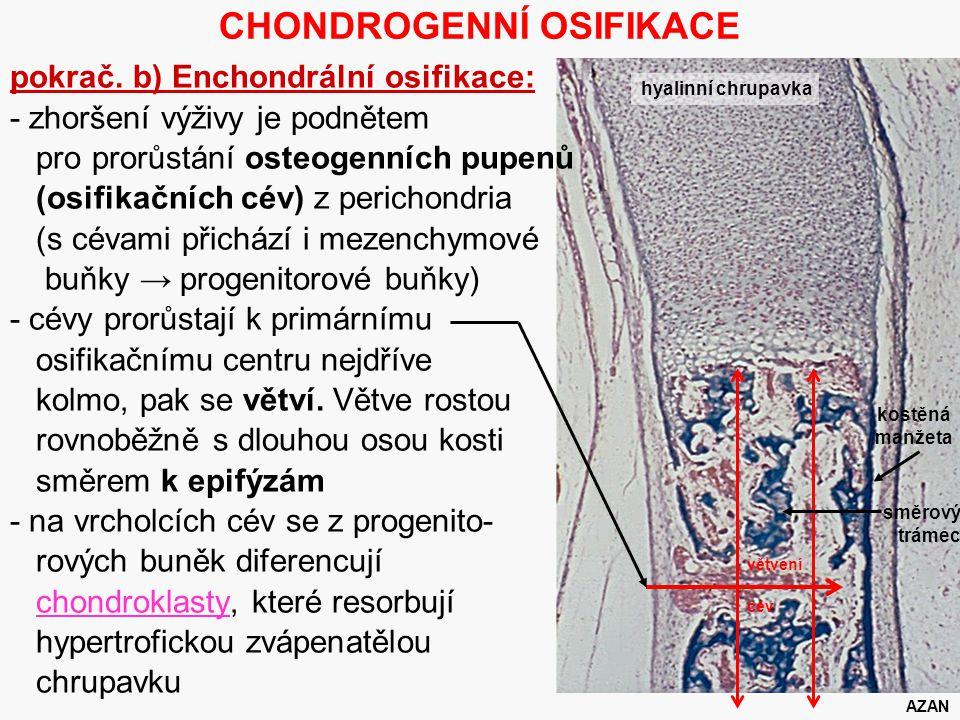 10 CHONDROGENNÍ OSIFIKACE pokrač. b) Enchondrální osifikace: - zhoršení výživy je podnětem pro prorůstání osteogenních pupenů (osifikačních cév) z per