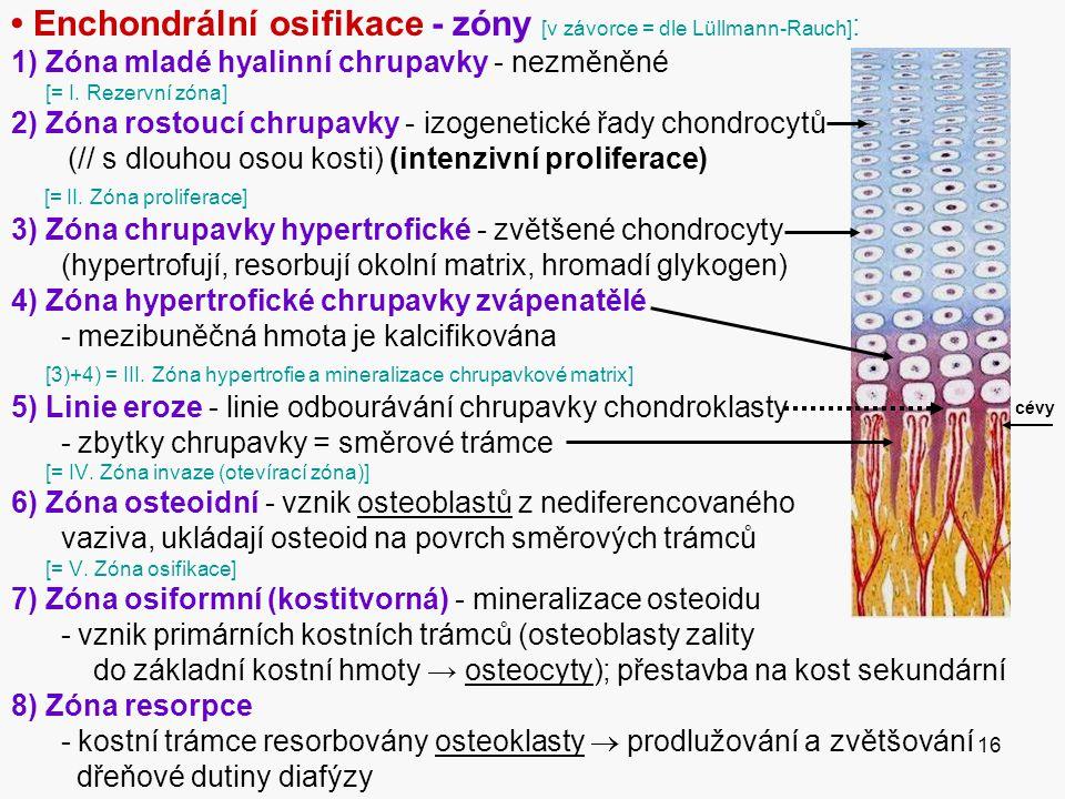 16 Enchondrální osifikace - zóny [v závorce = dle Lüllmann-Rauch] : 1) Zóna mladé hyalinní chrupavky - nezměněné [= I.