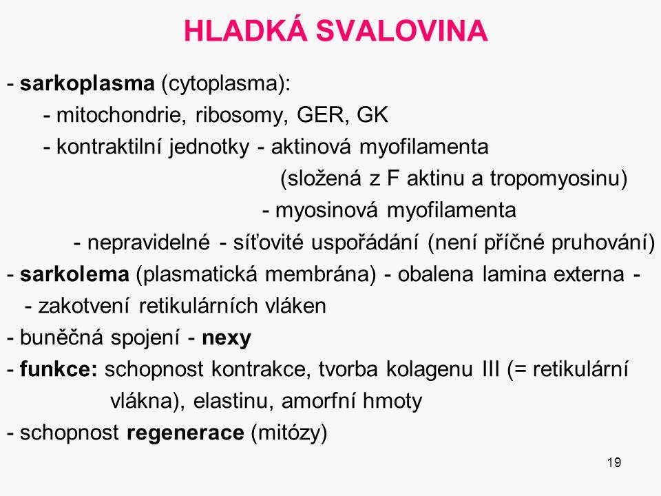 19 HLADKÁ SVALOVINA - sarkoplasma (cytoplasma): - mitochondrie, ribosomy, GER, GK - kontraktilní jednotky - aktinová myofilamenta (složená z F aktinu a tropomyosinu) - myosinová myofilamenta - nepravidelné - síťovité uspořádání (není příčné pruhování) - sarkolema (plasmatická membrána) - obalena lamina externa - - zakotvení retikulárních vláken - buněčná spojení - nexy - funkce: schopnost kontrakce, tvorba kolagenu III (= retikulární vlákna), elastinu, amorfní hmoty - schopnost regenerace (mitózy)