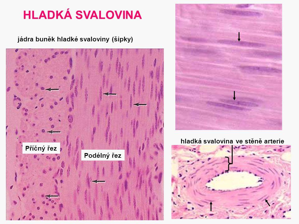 21 HLADKÁ SVALOVINA hladká svalovina ve stěně arterie Příčný řez Podélný řez jádra buněk hladké svaloviny (šipky)