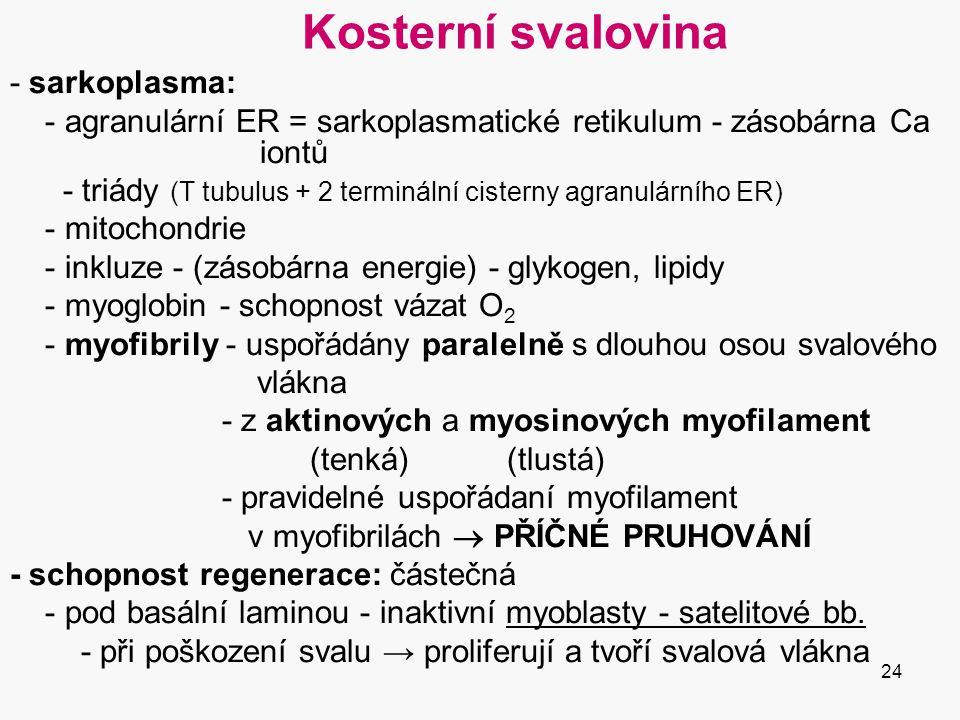24 Kosterní svalovina - sarkoplasma: - agranulární ER = sarkoplasmatické retikulum - zásobárna Ca iontů - triády (T tubulus + 2 terminální cisterny agranulárního ER) - mitochondrie - inkluze - (zásobárna energie) - glykogen, lipidy - myoglobin - schopnost vázat O 2 - myofibrily - uspořádány paralelně s dlouhou osou svalového vlákna - z aktinových a myosinových myofilament (tenká) (tlustá) - pravidelné uspořádaní myofilament v myofibrilách  PŘÍČNÉ PRUHOVÁNÍ - schopnost regenerace: částečná - pod basální laminou - inaktivní myoblasty - satelitové bb.