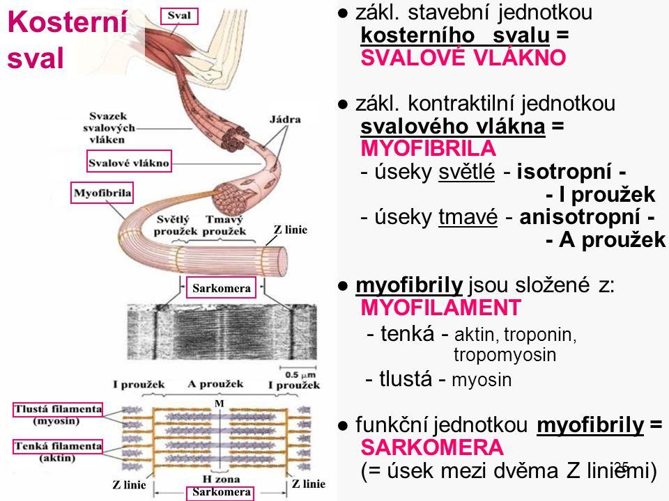 25 ● zákl. stavební jednotkou kosterního svalu = SVALOVÉ VLÁKNO ● zákl. kontraktilní jednotkou svalového vlákna = MYOFIBRILA - úseky světlé - isotropn