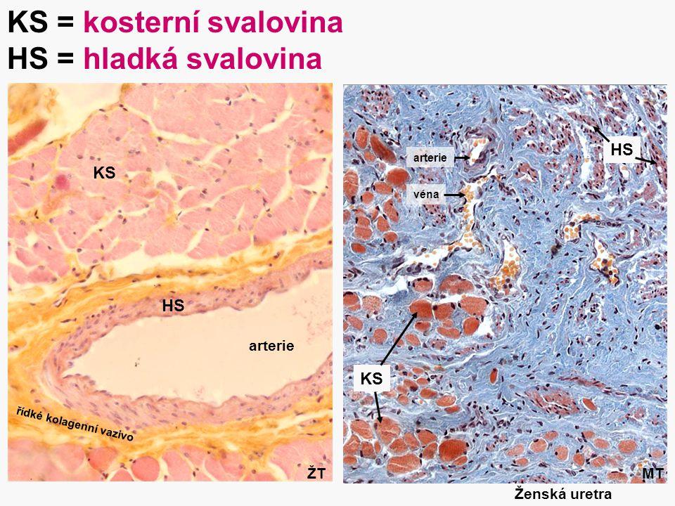31 Ženská uretra arterie KS HS KS KS = kosterní svalovina HS = hladká svalovina MTŽT řídké kolagenní vazivo arterie véna