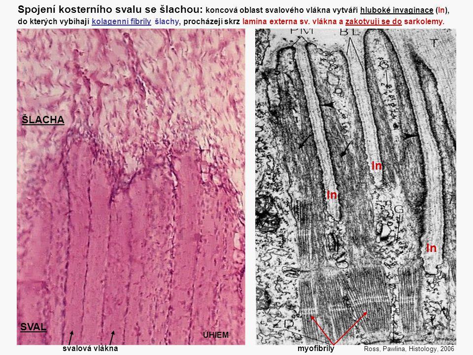 32 Spojení kosterního svalu se šlachou: koncová oblast svalového vlákna vytváří hluboké invaginace (In), do kterých vybíhají kolagenní fibrily šlachy,