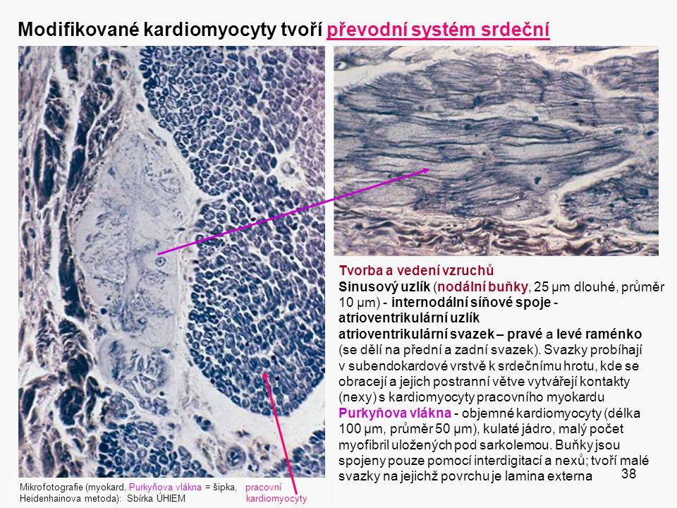 38 Modifikované kardiomyocyty tvoří převodní systém srdeční Mikrofotografie (myokard, Purkyňova vlákna = šipka, pracovní Heidenhainova metoda): Sbírka ÚHIEM kardiomyocyty Tvorba a vedení vzruchů Sinusový uzlík (nodální buňky, 25 μm dlouhé, průměr 10 μm) - internodální síňové spoje - atrioventrikulární uzlík atrioventrikulární svazek – pravé a levé raménko (se dělí na přední a zadní svazek).