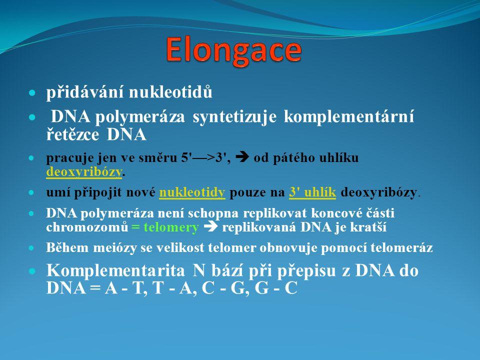  přidávání nukleotidů  DNA polymeráza syntetizuje komplementární řetězce DNA  pracuje jen ve směru 5'—>3',  od pátého uhlíku deoxyribózy. deoxyrib