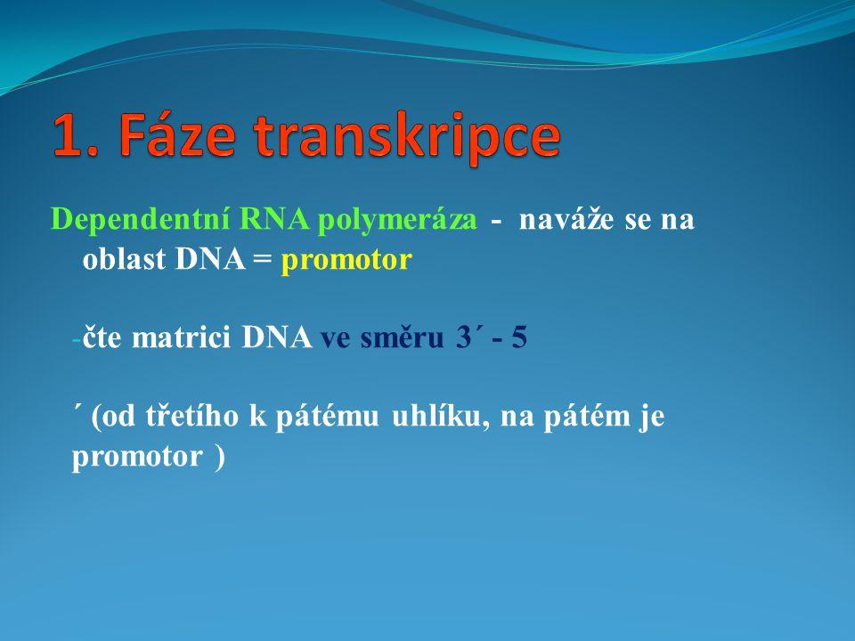 Dependentní RNA polymeráza - naváže se na oblast DNA = promotor - čte matrici DNA ve směru 3´ - 5 ´ (od třetího k pátému uhlíku, na pátém je promotor