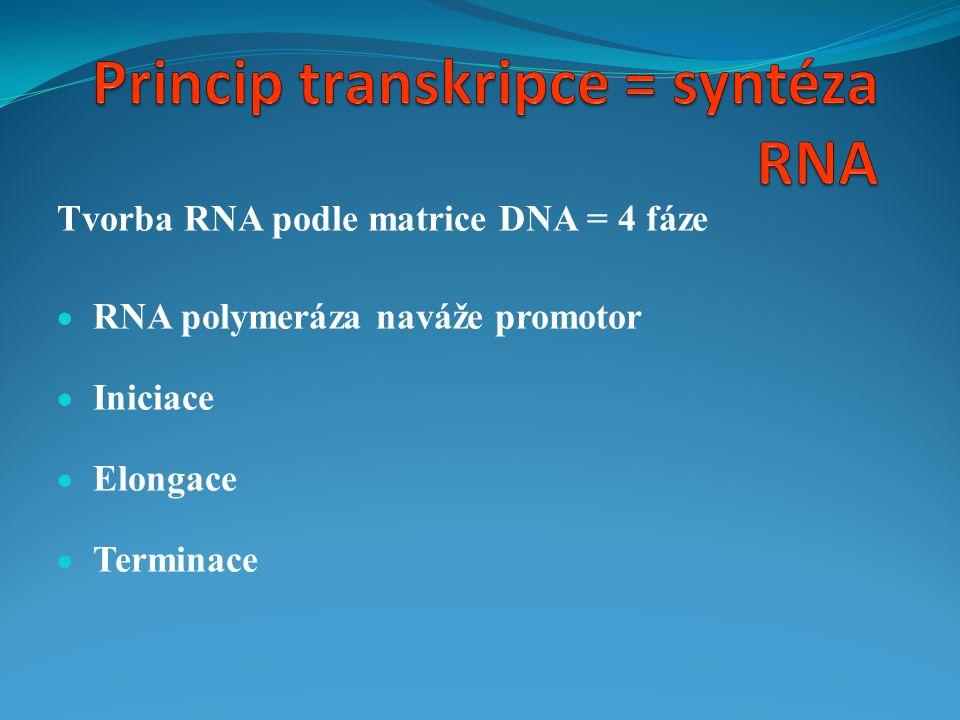 Tvorba RNA podle matrice DNA = 4 fáze  RNA polymeráza naváže promotor  Iniciace  Elongace  Terminace