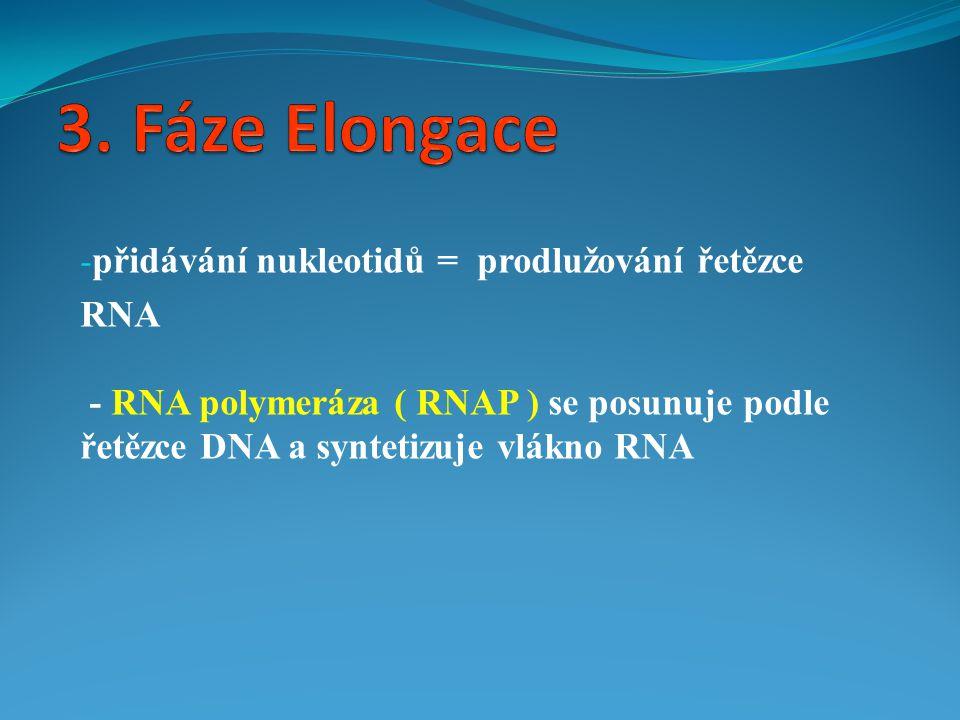 - přidávání nukleotidů = prodlužování řetězce RNA - RNA polymeráza ( RNAP ) se posunuje podle řetězce DNA a syntetizuje vlákno RNA