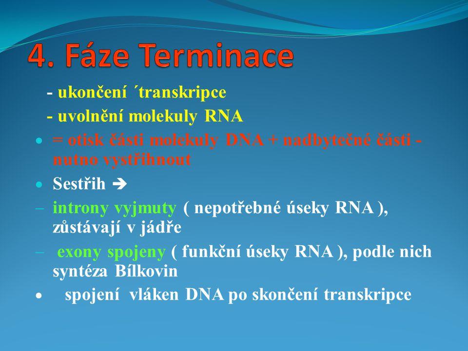 - ukončení ´transkripce - uvolnění molekuly RNA  = otisk části molekuly DNA + nadbytečné části - nutno vystřihnout  Sestřih   introny vyjmuty ( ne