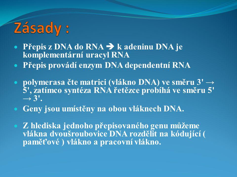  Přepis z DNA do RNA  k adeninu DNA je komplementární uracyl RNA  Přepis provádí enzym DNA dependentní RNA  polymerasa čte matrici (vlákno DNA) ve