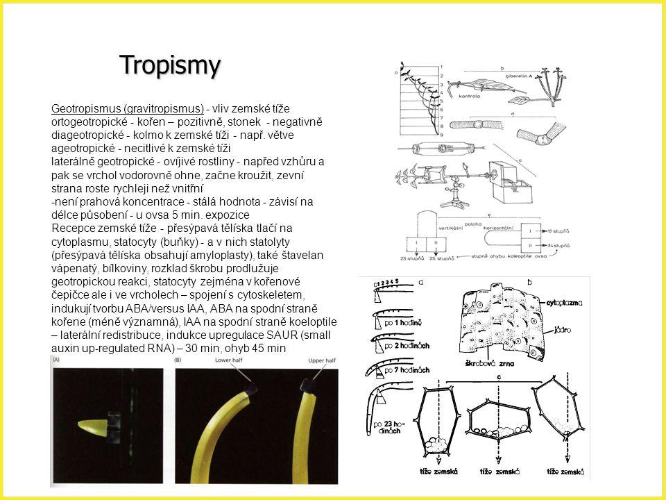 Tropismy Geotropismus (gravitropismus) – stalolyty hlavně v buňkách kolumely, tlačí na ER, i bez škrobu dochází k parciálnímu gravitropismu (mutanti) – tlak statolytů reguluje vápníkové kanály; změna polohy vede ke gravistimulaci – změna gradientu pH a Ca v buňkách kolumely,  pH columely( 7,6, 1 min),  pH apoplastu (5,5 → 4,5) – aktivace H + -ATP-asy, mikrochirurgie kořenové čepičky prokázaly, že IAA je inhibitor z kořenové čepičky, prokázáno s ABA a IAA mutanty (aux1 a agr1), agr1 nemá PIN2 lokalizovaný na bazální straně peidermálních a kortikálních buněk.