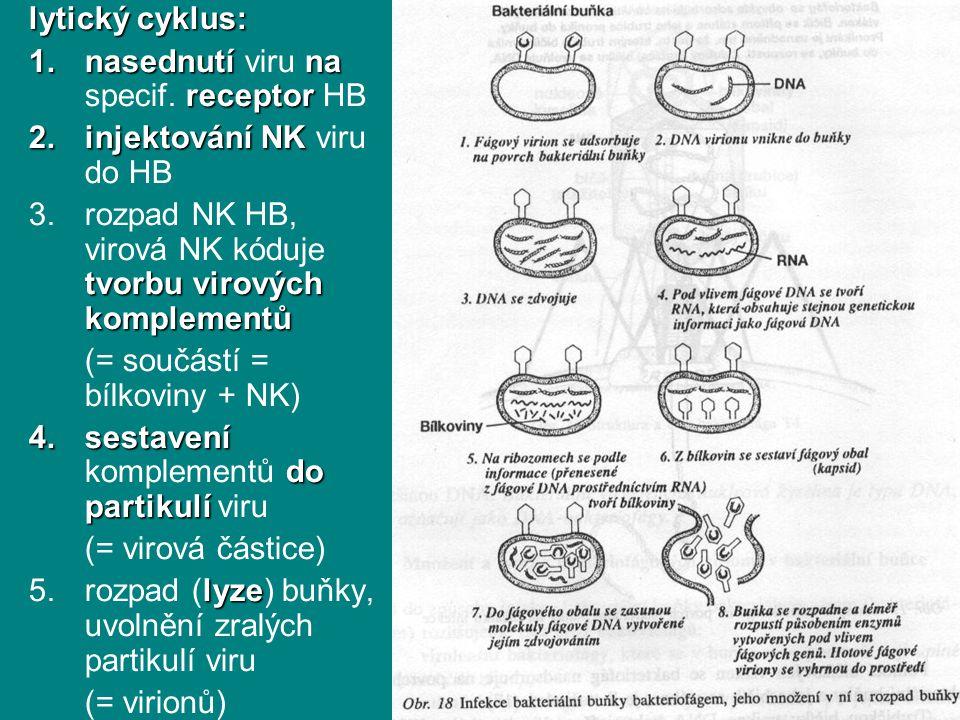 lytický cyklus: 1.nasednutína receptor 1.nasednutí viru na specif. receptor HB 2.injektováníNK 2.injektování NK viru do HB tvorbuvirových komplementů