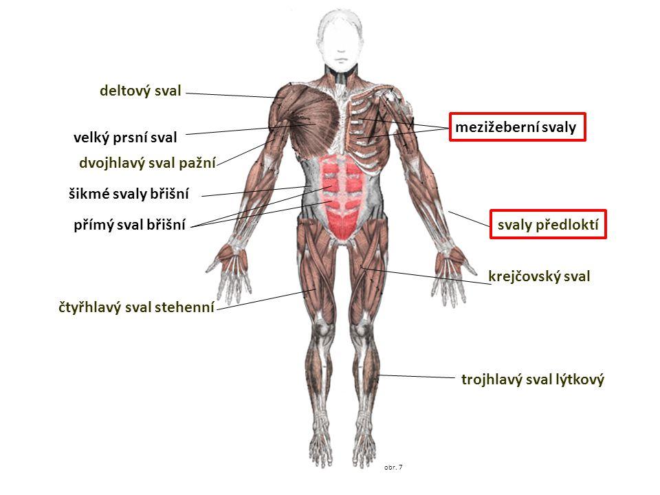 obr. 7 deltový sval velký prsní sval dvojhlavý sval pažní šikmé svaly břišní přímý sval břišní čtyřhlavý sval stehenní trojhlavý sval lýtkový krejčovs