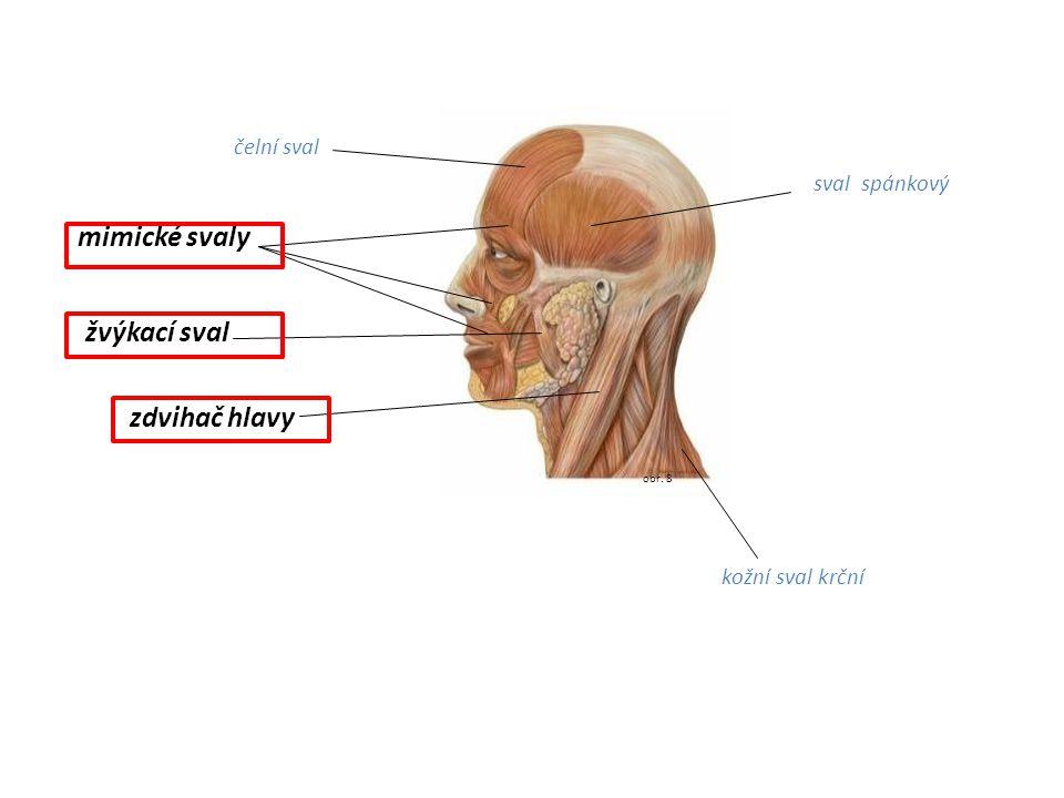 obr. 8 mimické svaly zdvihač hlavy žvýkací sval sval spánkový čelní sval kožní sval krční