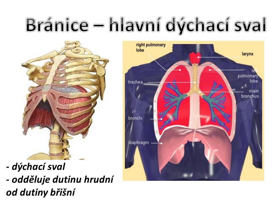 - dýchací sval - odděluje dutinu hrudní od dutiny břišní
