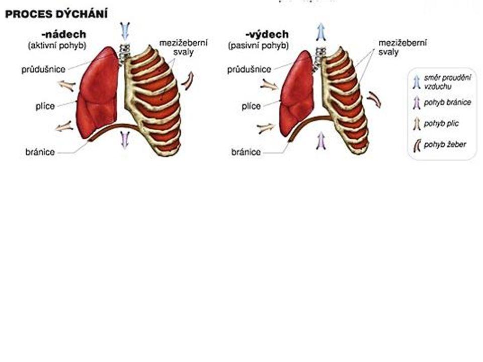 Zajímavosti o svalech největší sval: velký sval hýžďový a čtyřhlavý sval stehenní nejmenší sval: třmínkový sval – 0,5 cm nejdelší sval: krejčovský sval – 50 cm svaly tvoří 40–50 % tělesné hmotnosti u mužů a 30–40 % hmotnosti u žen kosterní svalstvo obsahuje 70 % vody, 24 % organických látek a 1 % anorganických látek pevnost kosterního svalu je 4–12 kg na 1 cm 3