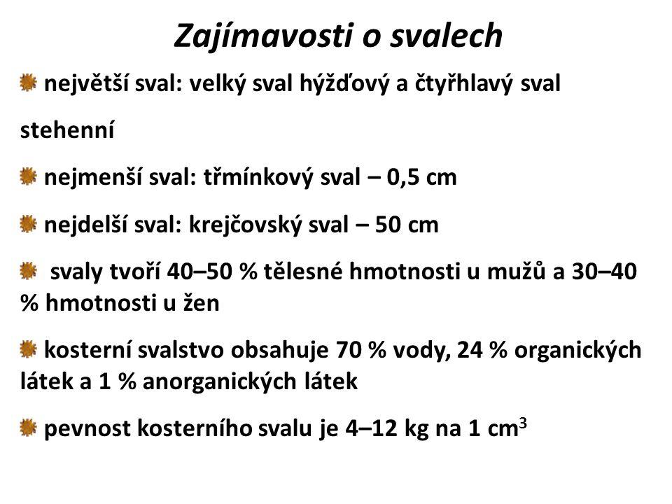 Zajímavosti o svalech největší sval: velký sval hýžďový a čtyřhlavý sval stehenní nejmenší sval: třmínkový sval – 0,5 cm nejdelší sval: krejčovský sva