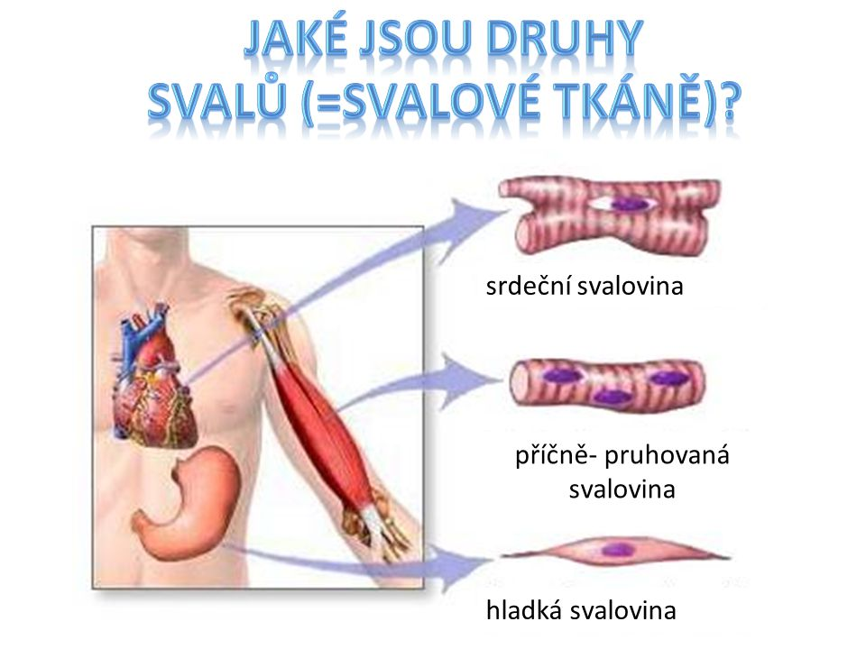 srdeční svalovina příčně- pruhovaná svalovina hladká svalovina