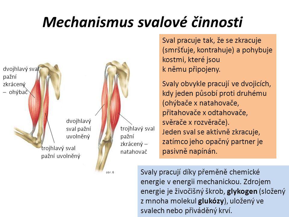 obr. 6 Mechanismus svalové činnosti Sval pracuje tak, že se zkracuje (smršťuje, kontrahuje) a pohybuje kostmi, které jsou k němu připojeny. Svaly obvy