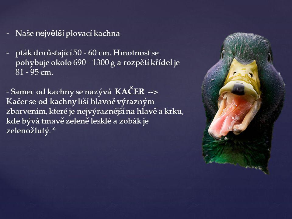 -Naše největší plovací kachna -pták dorůstající 50 - 60 cm. Hmotnost se pohybuje okolo 690 - 1300 g a rozpětí křídel je 81 - 95 cm. - Samec od kachny